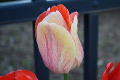 Tulipán de lujo multicolor, cierre para arriba Imagen de archivo libre de regalías