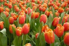 Tulipán de Organge Imagen de archivo libre de regalías