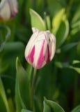 Tulipán de Rembrandt Fotografía de archivo libre de regalías
