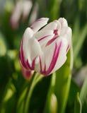 Tulipán de Rembrandt Foto de archivo libre de regalías