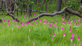Tulipán de Tailandia Imagenes de archivo