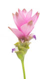 Tulipán de Tailandia Fotografía de archivo libre de regalías