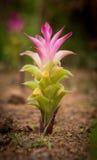 Tulipán de Tailandia o flor de la cúrcuma en Tailandia Fotos de archivo