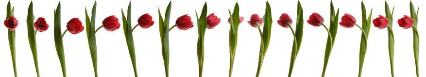 Tulipán del baile Fotografía de archivo libre de regalías