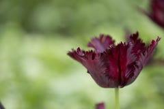 Tulipán del loro fotografía de archivo