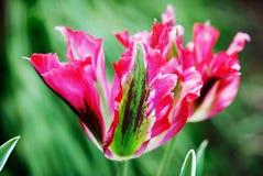 Tulipán del loro Imágenes de archivo libres de regalías