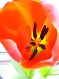 Tulipán del primer afuera Foto de archivo libre de regalías