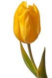 Tulipán del resorte Imagen de archivo libre de regalías