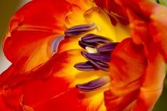 Tulipán del rojo del detalle Fotos de archivo