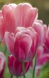 Tulipán del rosa del pétalo de la primavera Fotografía de archivo