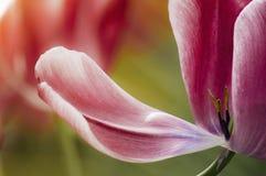 Tulipán del rosa del pétalo de la primavera Fotografía de archivo libre de regalías