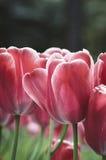 Tulipán del rosa del pétalo de la primavera Imagen de archivo libre de regalías