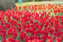 Tulipán del 'sorbete' Fotos de archivo