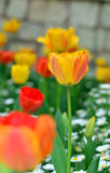 Tulipán dentro de las flores de la margarita Fotos de archivo libres de regalías