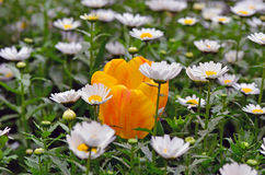 Tulipán dentro de las flores de la margarita Imagen de archivo libre de regalías