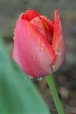 Tulipán después de la lluvia Fotografía de archivo libre de regalías