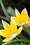 Tulipán diminuto (tarda del Tulipa) Foto de archivo libre de regalías