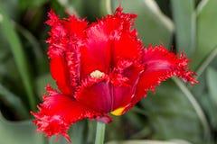 Tulipán doble imágenes de archivo libres de regalías