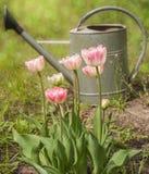 Tulipán doble del grupo fotografía de archivo libre de regalías