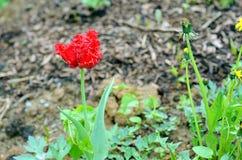 Tulipán doble salvaje Imagen de archivo libre de regalías