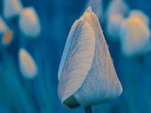 Tulipán en azul Fotos de archivo