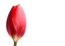 Tulipán en blanco Foto de archivo