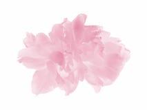 Tulipán en colores pastel rosado Imagen de archivo libre de regalías