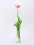 Tulipán en el fondo blanco fotos de archivo libres de regalías