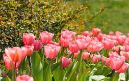 Tulipán en el jardín Fotografía de archivo