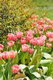 Tulipán en el jardín Imagen de archivo libre de regalías