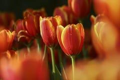 Tulipán en el jardín Foto de archivo