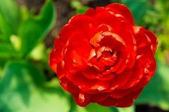 Tulipán en el jardín foto de archivo libre de regalías