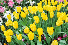 Tulipán en el jardín Imágenes de archivo libres de regalías