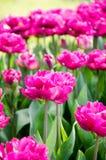 Tulipán en el parque fotografía de archivo