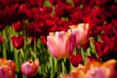 Tulipán en fondo rojo de los tulipanes Imagen de archivo