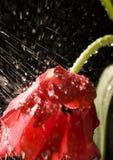 Tulipán en la lluvia Fotos de archivo