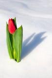 Tulipán en la nieve foto de archivo libre de regalías