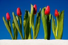 Tulipán en la nieve fotografía de archivo libre de regalías