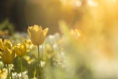 Tulipán en la puesta del sol con el fondo borroso imagenes de archivo