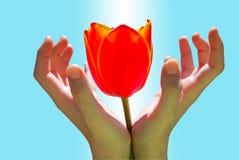 Tulipán en mano del niño Fotos de archivo