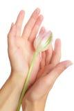Tulipán en manos Foto de archivo