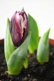Tulipán en una maceta Fotos de archivo libres de regalías