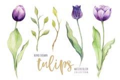 Tulipán floral de la acuarela colorido aislada libre illustration