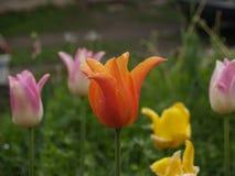 Tulipán floreciente Fotografía de archivo