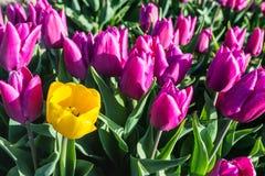 Tulipán floreciente amarillo llamativo entre porciones de tu coloreado de color rosa oscuro Foto de archivo