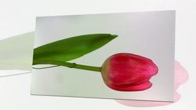 Tulipán floreciente en el fondo blanco almacen de video