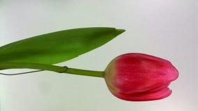 Tulipán floreciente en el fondo blanco metrajes