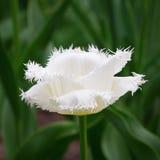 Tulipán franjado blanco Fotografía de archivo