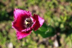 Tulipán franjado púrpura fotografía de archivo