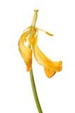 Tulipán gastado Fotos de archivo libres de regalías